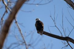 勘测它的疆土的白头鹰 免版税库存图片