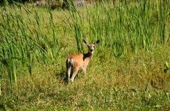 勘测我的鹿 免版税库存照片