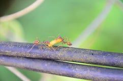 勤勉蚂蚁发现食物 库存图片