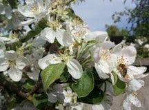勤勉蜂从花收集花蜜 库存照片