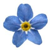 勿忘我草arvensis浅兰的花,隔绝在白色backgr 库存照片