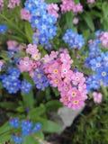 勿忘我草sylvatica的桃红色和蓝色组合 免版税库存照片