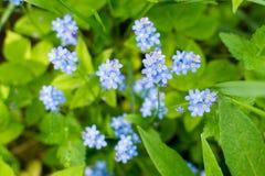 勿忘草勿忘我草天蓝色开花与白色星心脏 免版税库存照片