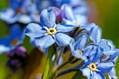 勿忘草浅兰的花。 图库摄影