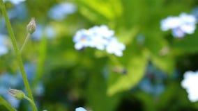 勿忘草特写镜头夹子 美丽的花 影视素材