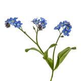 勿忘草& x28浅兰的花; 勿忘我草arvensis& x29; 孤立 库存图片
