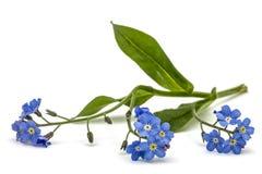 勿忘草& x28浅兰的花; 勿忘我草arvensis& x29; 孤立 免版税库存图片