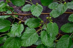 包括桑树的湿叶子背景 库存图片