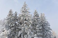 包括的冷杉雪结构树 冬天霜森林moning在公园的冷的12月 免版税库存图片