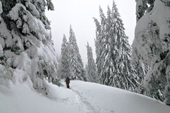 包括的山松雪结构树 免版税库存照片