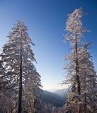 包括的杉木地平线雪结构树 库存图片