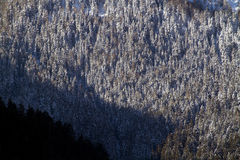 包括的森林杉木雪 库存图片