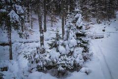 包括的雪云杉结构树 冻森林 免版税库存图片