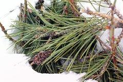 包括的雪云杉 针用雪盖 库存图片
