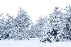 包括的雪云杉 免版税库存图片
