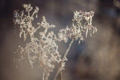 包括的霜草灰白叶子薄菏 库存照片