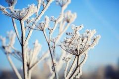 包括的霜草灰白叶子薄菏 免版税库存图片