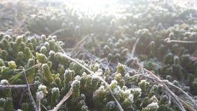 包括的霜草灰白叶子薄菏 免版税库存照片