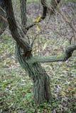 包括的青苔结构树 免版税库存图片