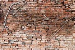 包括砖墙的榕属树干根 免版税库存照片