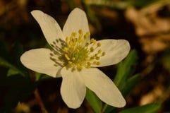 包缠春天森林花纯净的白色snowdrop秀丽  图库摄影