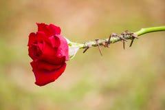 包裹红色玫瑰的刺 图库摄影