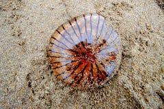 包围水母在一个康沃尔海滩的柯桠素hysoscella 免版税图库摄影