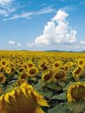 匈牙利向日葵 免版税库存图片