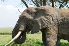 匈牙利大象 免版税库存照片