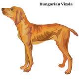 匈牙利尖传染媒介色的装饰常设画象  向量例证
