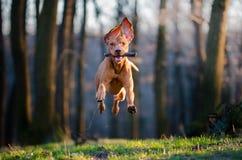 匈牙利尖猎犬 库存图片