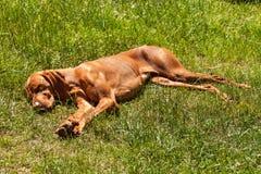 匈牙利尖Vizsla在草睡觉 在农场的热的天 狗休息 免版税库存照片