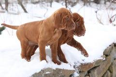 匈牙利指向的狗两只小狗在冬天 库存图片