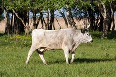 匈牙利灰色公牛 免版税库存照片