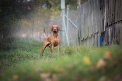 匈牙利猎犬在秋天 免版税图库摄影