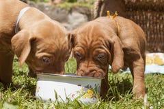 匈牙利猎犬小狗,午餐,膳食在庭院,匈牙利猎犬小狗,午餐里 库存图片