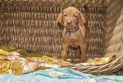匈牙利猎犬逗人喜爱的小狗在一个柳条筐的 免版税库存照片
