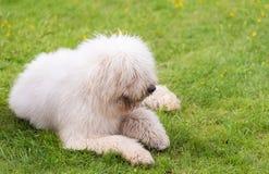 匈牙利komondor狗在公园 库存图片