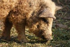 匈牙利mangalitsa猪 免版税库存图片
