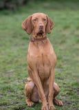 匈牙利Vizla狗的画象 免版税库存图片