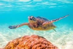 绿化夏威夷海龟 图库摄影