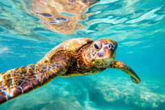 绿化夏威夷海龟 免版税库存照片