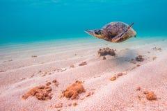 绿化夏威夷海龟 库存照片