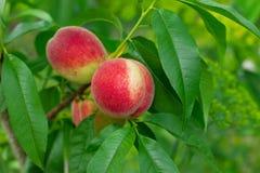 绿化成熟叶子的桃子 库存照片