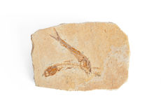 化石两条的鱼 库存照片