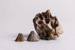 化石壳 免版税库存照片