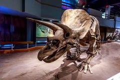 化石展览在皇家Tyrrell博物馆 库存照片