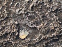 化石纹理 免版税库存图片