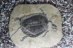 化石草龟 库存照片