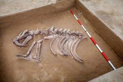 化石陈列 库存照片